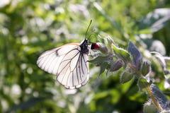 蝴蝶是白色的与透明金属线制的翼 免版税库存照片