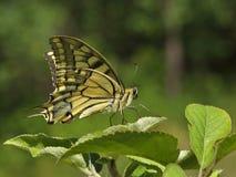 蝴蝶本质上 库存照片