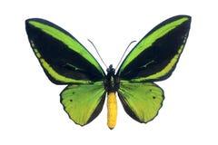 蝴蝶标本 免版税库存照片