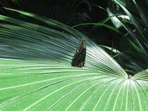 蝴蝶棕榈 免版税库存照片