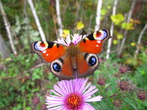 蝴蝶欧洲人孔雀 库存照片
