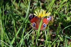 蝴蝶欧洲孔雀坐花 库存照片