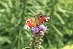 蝴蝶欧洲孔雀(Inachis io)在花 库存照片