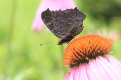蝴蝶欧洲孔雀(Inachis io)在黄金菊花  库存照片