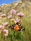 蝴蝶灯蛾(arctia caja),坐报春花花 免版税库存图片