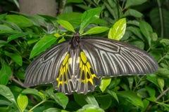 蝴蝶照片罗马浪漫街道 库存照片