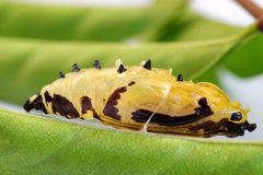 蝴蝶生叶的蛹附上以自然绿色离开背景 库存图片