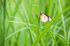 蝴蝶用于做背景和墙纸 Butterflie 图库摄影