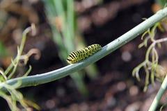 蝴蝶的毛虫 库存图片