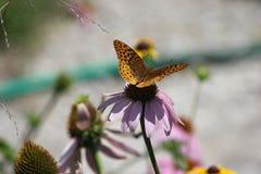 蝴蝶的特写镜头 库存照片