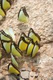 蝴蝶的社会在瀑布边 免版税库存照片