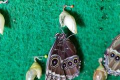 蝴蝶的诞生 免版税图库摄影
