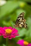蝴蝶的寻找的食物 免版税库存图片