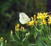 蝴蝶皮利斯rapae 库存照片