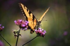 蝴蝶眼睛 库存图片