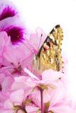 蝶粉花坐 免版税图库摄影
