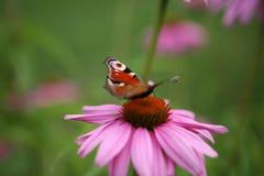 蝶粉花夏天 库存图片