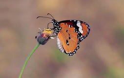 蝶粉花早晨活动在庭院里 免版税库存图片