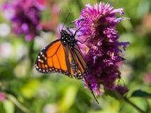 蝶粉花水平的国君照片紫色 库存图片
