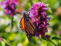 蝶粉花水平的国君照片紫色 图库摄影