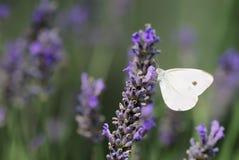 蝶粉花淡紫色小的白色 库存图片