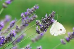 蝶粉花淡紫色白色 库存图片