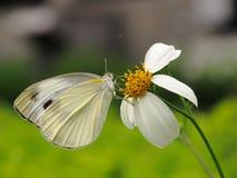 蝶粉花白色 免版税库存照片