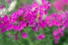 蝶粉花粉红色 多色 图库摄影