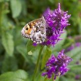 蝶粉花紫色 库存照片