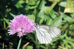 蝶粉花紫色白色 免版税库存图片