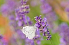 蝶粉花紫色白色 图库摄影
