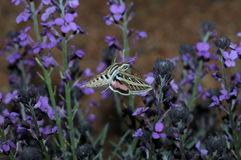 蝶粉花临近紫色 库存图片