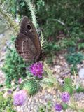 蝶粉花2 库存图片