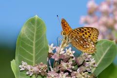 蝶粉花 库存照片