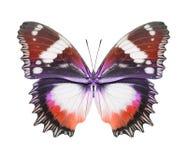 蝴蝶红色桔子 库存照片