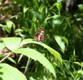 蝴蝶线蛱蝶属卡米拉 库存图片