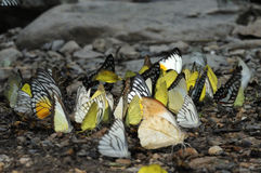 蝴蝶群。 免版税库存照片