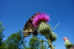 蝴蝶老虎Swallowtail 库存照片