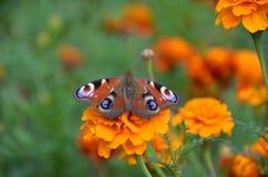 蝴蝶自然 库存图片