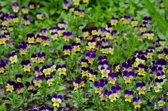蝴蝶花在春天庭院里 库存图片