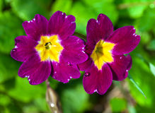 蝴蝶花在春天庭院 图库摄影