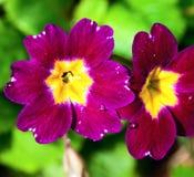 蝴蝶花在春天庭院 库存图片