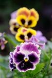 蝴蝶花在花床上的紫罗兰花 免版税库存照片
