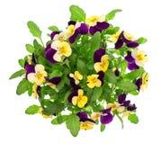 蝴蝶花花束 紫罗兰色和黄色春天花 库存照片