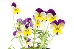 蝴蝶花,三色的中提琴,花 免版税库存照片