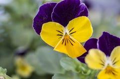 蝴蝶花紫色黄色 图库摄影