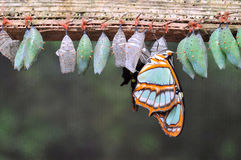 蝴蝶茧行  库存图片