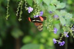 蝴蝶被修补的绯红色longwing 免版税库存图片