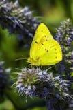 蝴蝶被覆盖的硫磺 免版税库存照片