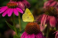 蝴蝶被覆盖的硫磺 库存照片